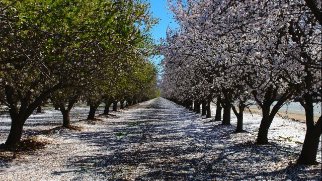 North Bakersfield blooming orchards. Agriculture